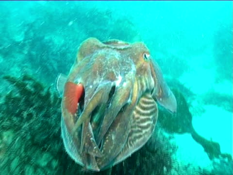 Cuttlefish swims ,  side shot to high angle including reef. English waters, United Kingdom