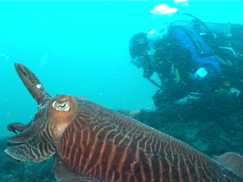cuttlefish swims very close to diver,  torch lights the skirt of cuttle, ms to cu - tauchgerät stock-videos und b-roll-filmmaterial