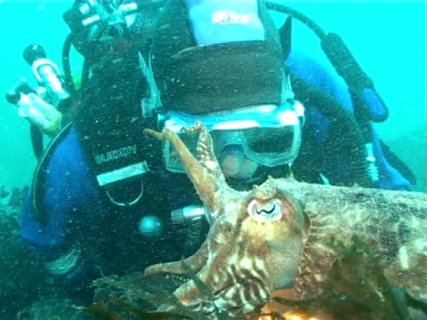 cuttlefish swims very close to diver with torch,  ws to ms - tauchgerät stock-videos und b-roll-filmmaterial