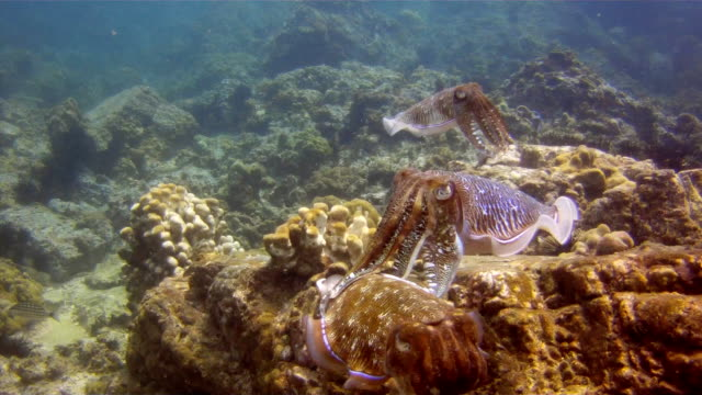 cuttlefish (sepiida) three cephalopod are taking part in a mating ritual. location is the andaman sea, krabi, thailand. this is a classic display of primal instinctive animal behavior, which ensures their survival. - cuttlefish stock videos and b-roll footage