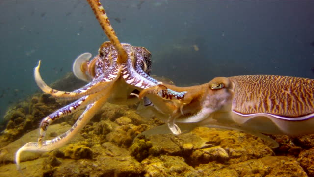 cuttlefish (sepiida) two cephalopod are locked and intertwined in a mating ritual. location is the andaman sea, krabi, thailand. this is a classic display of primal instinctive animal behavior, which ensures their survival. - cuttlefish stock videos & royalty-free footage