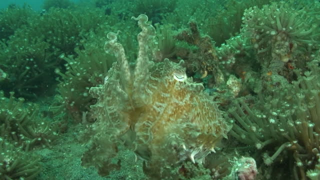 cuttlefish - camouflage stock videos & royalty-free footage