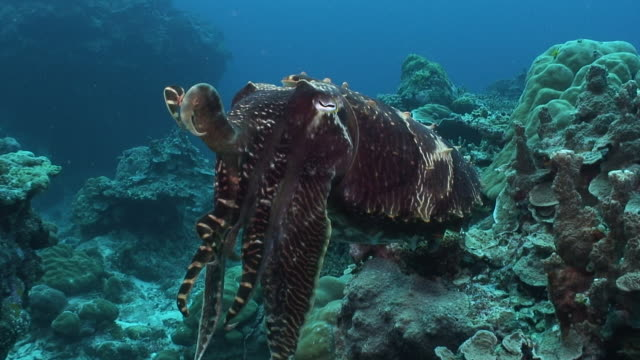 cuttlefish - コウイカ点の映像素材/bロール