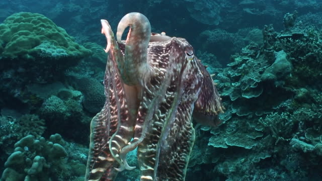 cuttlefish - cuttlefish stock videos and b-roll footage