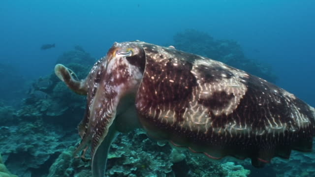 cuttlefish - cuttlefish stock videos & royalty-free footage