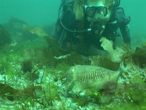 cuttlefish with diver