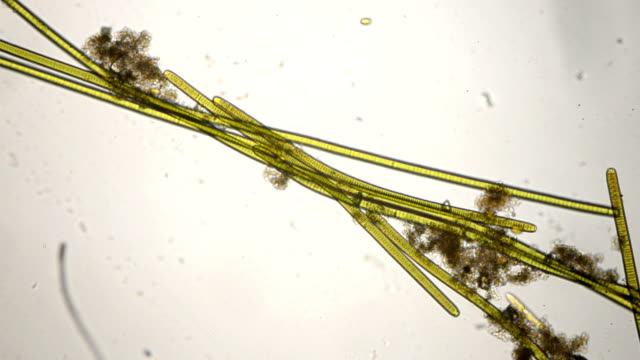 cyanobacteria  oscillatoria species - microbiology stock videos & royalty-free footage