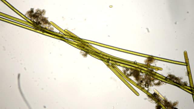 vídeos y material grabado en eventos de stock de cyanobacteria oscillatoria especies - micrografía de luz