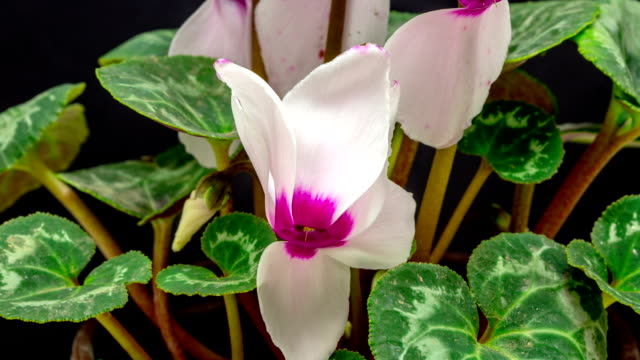 cyclamen blooming in a time lapse video against black background.. - pistil stock videos & royalty-free footage