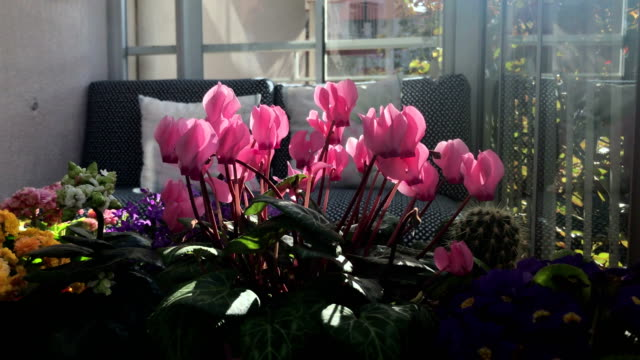 cyclamen - flower head stock videos & royalty-free footage