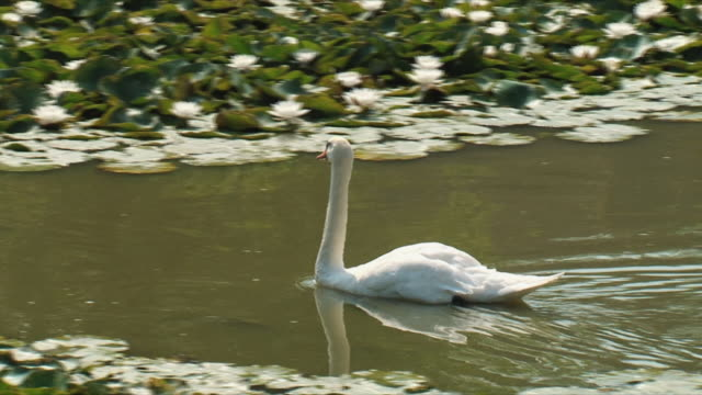 ms ts pan cygnet floating on water / versailles, ile de france, france - cygnet stock videos & royalty-free footage