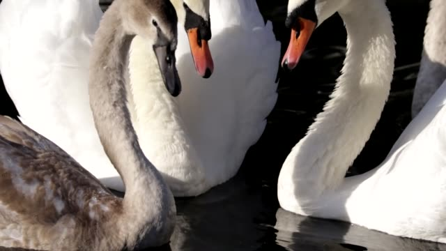 cygnet wanderer returns mute swans cygnus olor hd video - cygnet stock videos & royalty-free footage