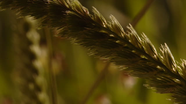 vidéos et rushes de cynosurus grass exposes anthers in a field. available in hd. - étamine