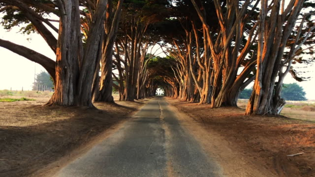 cypress tree tunnel with straight road in california and cinematic effect. - footpath stock videos & royalty-free footage