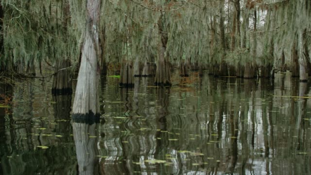 cypress trees covered in spanish moss and salvinia floating in the atchafalaya river basin swamp in southern louisiana under an overcast sky - spanish moss stock videos & royalty-free footage