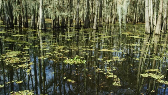 cypress trees covered in spanish moss and salvinia floating in the atchafalaya river basin swamp in southern louisiana under an overcast sky - bog stock videos & royalty-free footage