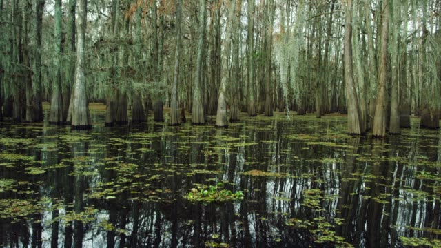 cypress trees covered in spanish moss and salvinia floating in the atchafalaya river basin swamp in southern louisiana under an overcast sky - wetland stock videos & royalty-free footage