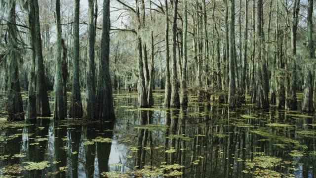 Cypress Trees Covered in Spanish Moss and Salvinia Floating in the Atchafalaya River Basin Swamp in Southern Louisiana Under an Overcast Sky