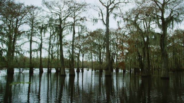 cypress trees covered in spanish moss in the atchafalaya river basin swamp in southern louisiana under an overcast sky - wetland stock videos & royalty-free footage