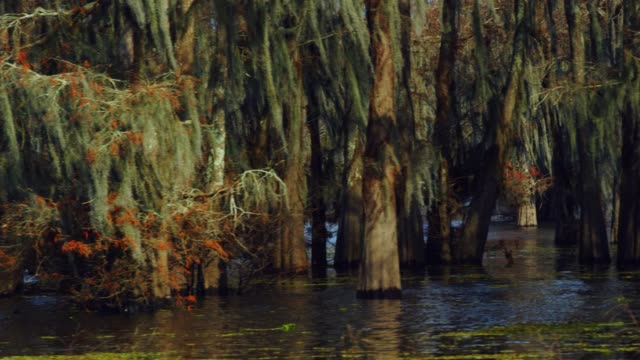 cypress trees in a forest covered in spanish moss in the atchafalaya river basin swamp in southern louisiana - spanish moss stock videos & royalty-free footage