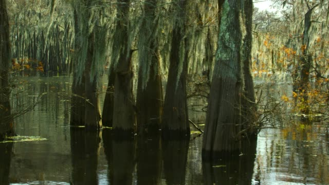 cypress trees in a forest covered in spanish moss in the atchafalaya river basin swamp in southern louisiana - biodiversity stock videos & royalty-free footage