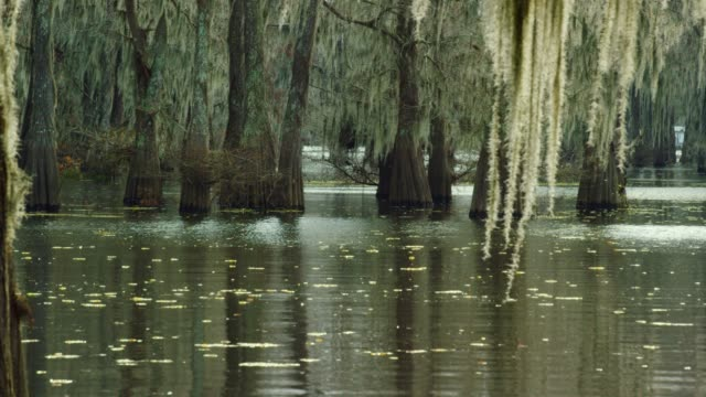 cypress trees in a forest covered in spanish moss with salvinia floating in the atchafalaya river basin swamp in southern louisiana - spanish moss stock videos & royalty-free footage