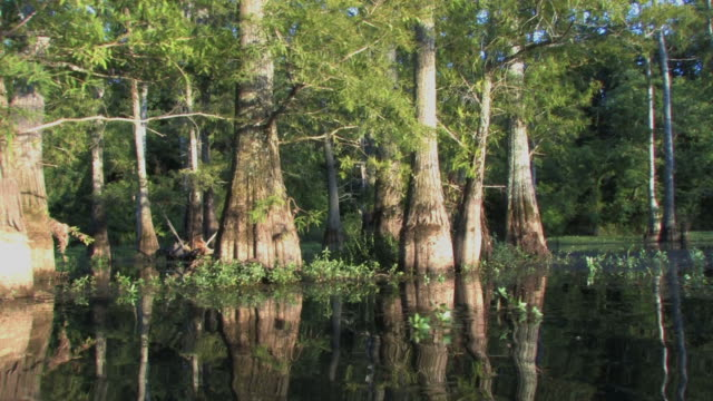 cypress trees in hd - arkansas stock videos & royalty-free footage