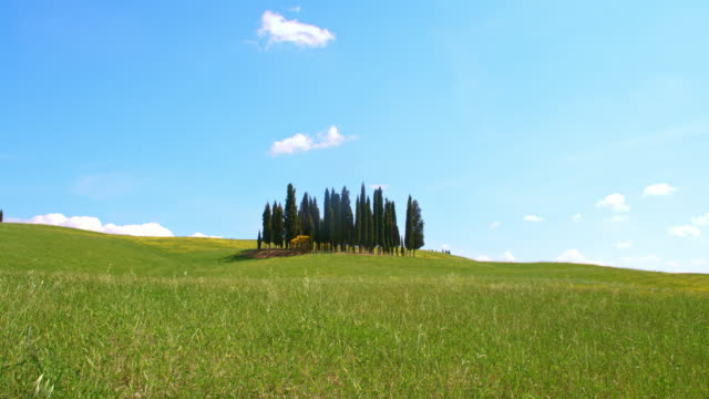 DS Cypress trees in the middle of meadow