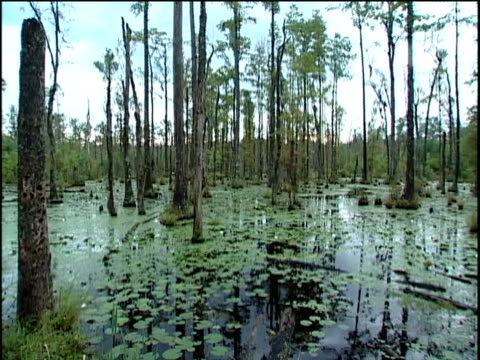ws ha pan right cypress trees, water, and lilly pads in swamp - south carolina stock videos & royalty-free footage