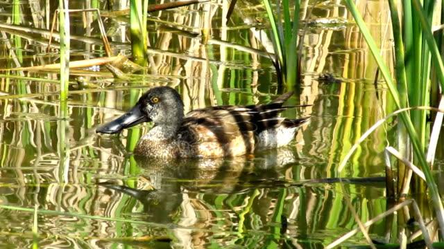 stockvideo's en b-roll-footage met dabbling ducks around the reeds - vogeljacht
