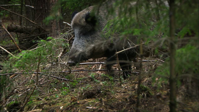 dachshund chases boar - tiere bei der jagd stock-videos und b-roll-filmmaterial