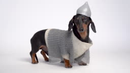 Dachshund dog portrait, black and tan, dressed with helmet and chain mail, clothes of the Russian hero bogatyr  isolated on white background