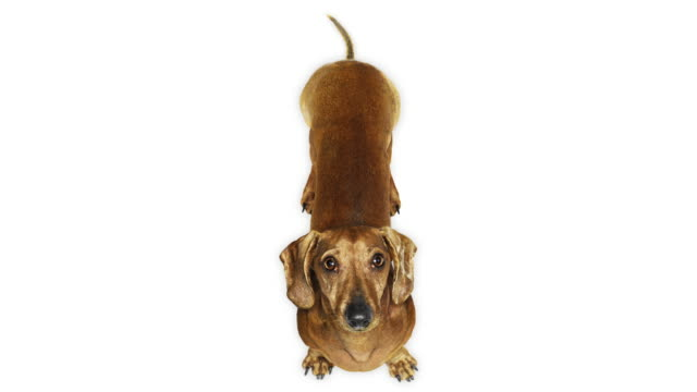stockvideo's en b-roll-footage met dachshund dog wagging tail - staartjes