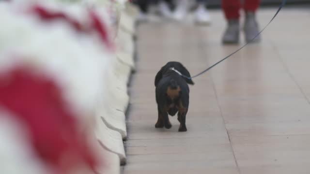 Dachshund dog walking on leash along Monaco street