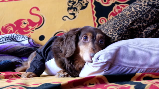 a dachshund (wiener dog) in a t-shirt lounging on a couch. - shirt stock videos & royalty-free footage