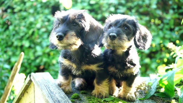 Dachshund puppies playing in garden
