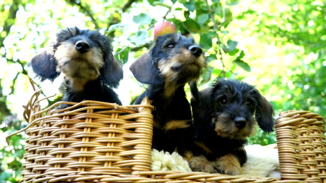 dachshund puppies playing in garden - basket stock videos & royalty-free footage