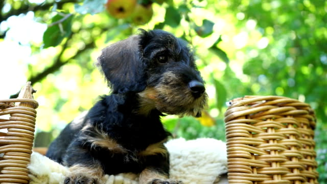 dachshund puppies playing in garden - wicker stock videos & royalty-free footage