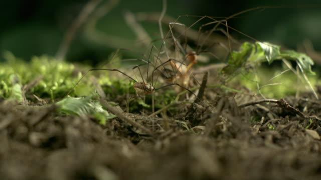 slo mo ecu pan selective focus daddy long-legs spiders fighting in moss, new york state, usa - テーブルトップショット点の映像素材/bロール