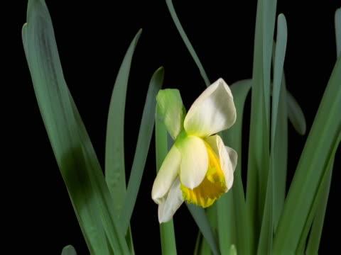 vídeos y material grabado en eventos de stock de a daffodil blooming - pistilo
