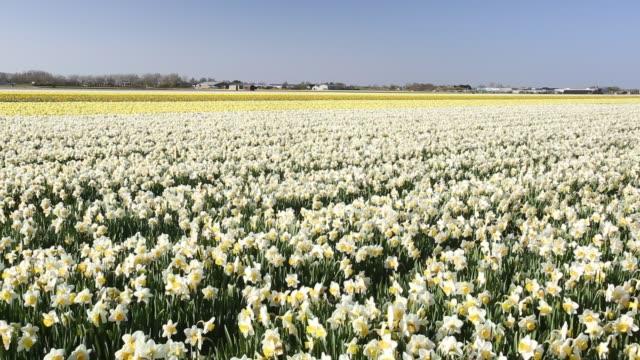 daffodil fields near keukenhof gardens, lisse, netherlands. - plant bulb stock videos & royalty-free footage