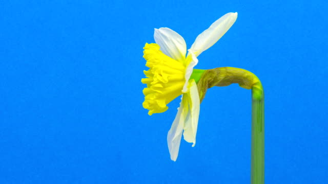 Daffodil flower blooming in a time lapse video on a blue background. Time lapse of Narcissus in motion.
