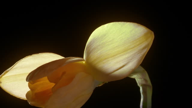 t/l, cu, daffodil flower opening against black background - daffodil stock videos and b-roll footage