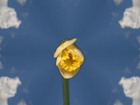 t/l cu cgi daffodil flowers blooming  - pistil stock videos & royalty-free footage