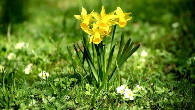 daffodil in the nature - paperwhite narcissus stock videos & royalty-free footage