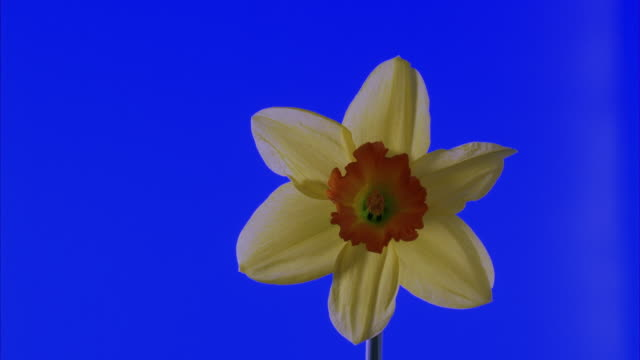 t/l, cu, daffodil opening against blue background - flower head stock videos & royalty-free footage