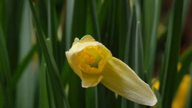 t/l daffodil (narcissus sp.) opening, take 1, united kingdom - daffodil stock videos & royalty-free footage