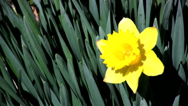 daffodil spring - month stock videos & royalty-free footage