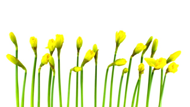daffodil time lapse - daffodil stock videos and b-roll footage
