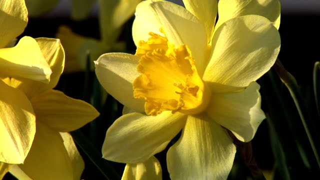hd: daffodil - paperwhite narcissus stock videos & royalty-free footage